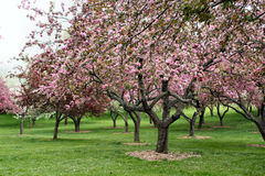Trees in Bloom Royalty Free Stock Photography
