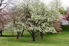 Trees in Bloom. Blooming Spring Trees in New York City Stock Photo