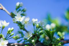 Trees bloom in spring. on the branches of white delicate flowers. a warm Sunny day stock photos