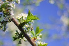 Trees bloom in spring. on the branches of white delicate flowers. a warm Sunny day stock photo