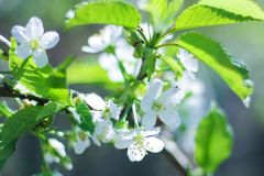 Trees bloom in spring. on the branches of white delicate flowers. a warm Sunny day royalty free stock photo