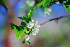 Trees bloom in spring. on the branches of white delicate flowers. a warm Sunny day royalty free stock image