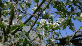 Trees blooming in the garden bee flying clear sky nature spring summer beautiful flowers animal bee pollinating trees. Flowers fruit garden stock video footage