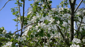Trees blooming in the garden bee flying clear sky nature spring summer beautiful flowers animal bee pollinating trees. Flowers fruit garden stock footage