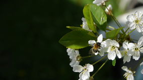 Trees blooming in the garden bee flying clear sky nature spring summer beautiful flowers animal bee pollinating trees. Flowers fruit garden stock video