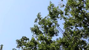 Trees blow in strong wind. Blue sky background stock video footage
