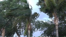 Palm Trees Blowing in the Wind During a Big Storm. Trees blow in the wind during a big summer storm stock video