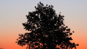 Trees blowing in the wind. Sunrise beautiful trees blowing in the wind stock video footage