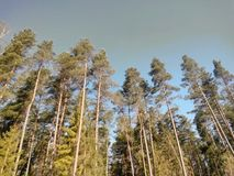 Trees in the blu sky. Trees  blu sky green nature stock images