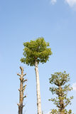 Trees with blue sky Royalty Free Stock Image