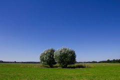 Trees and a blue sky. The picture shows two trees and a blue sky stock image