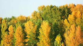 Trees and blue sky landscape. Green and yellow leaves on trees stock video