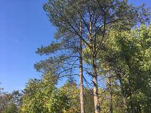 Trees, blue sky. Trees and blue sky. Forest, nature Royalty Free Stock Images