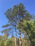 Trees, blue sky. Trees and blue sky. Forest, nature Stock Images