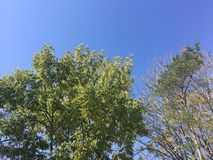 Trees, blue sky. Blue sky. Up view on trees Royalty Free Stock Photo
