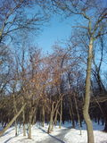 Trees and blue sky winter landscape. Trees winter landscape on a blue sky background Royalty Free Stock Photo