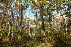 Bluebonnet Swamp during the fall. Trees at bluebonnet Swamp during the fall, Baton Rouge, Louisiana, USA stock photos