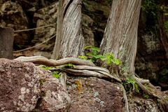 Trees bound by exposed roots on a hike in northern Minnesota. Cliff hanging trees with exposed roots wrapped around the base alongside a cliff near Minnesota`s Royalty Free Stock Image