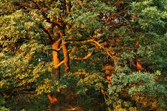 Trees with branches coloured to golden in sunset time stock photo