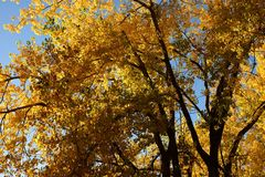 Natuolden fall tree colors inyoming. Treeth branches and golden fall color leaves and cloudless blue skyutumn Royalty Free Stock Photography