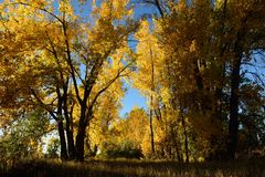 Natures golden fall tree colors Royalty Free Stock Photo