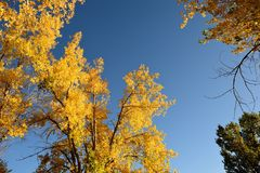 Natures golden fall tree colors in Wyoming Stock Photography