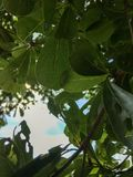 Tree branches and leaves royalty free stock photo