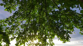 Trees, branches and leaves swaying in the sunset. Beautiful sunny summer evening. Sunset. stock footage