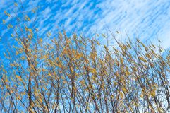 Trees branches with yellow buds in early spring, selective focus. Pussy willow branches with catkins. Spring branches willow seals. Spring buds on the willow royalty free stock photo