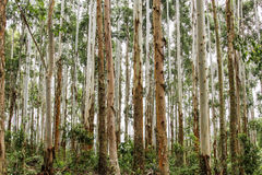 Trees in Brazilian forest Stock Image
