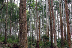 Trees in Brazilian forest Royalty Free Stock Photo