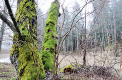 Trees with bright green moss in the forest Royalty Free Stock Photo