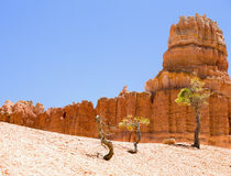 Trees of Bryce Canyon. Trees in Bryce Canyon, Utah with unique rock formations in the background Royalty Free Stock Photo