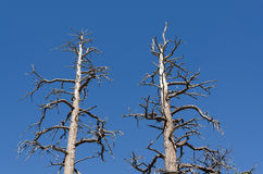 Trees in Bryce Canyon Royalty Free Stock Photo
