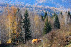 Trees and bull. Among the trees, there is a bull wandering Royalty Free Stock Image