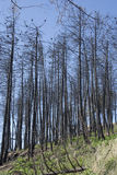 Trees burned in a fire Stock Image