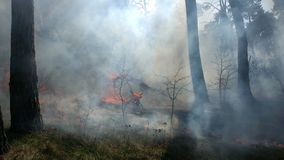 The trees burning in forest fire Royalty Free Stock Photo