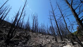 Trees burnt in natural disater, destroyed forest after fire. UHD 4K stock footage