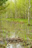 Trees and bushes are reflected in the water. From melted snow in a spring forest Stock Image