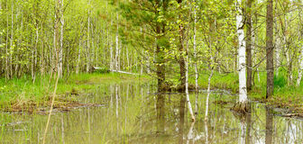 Trees and bushes are reflected in the water. From melted snow in a spring forest Royalty Free Stock Images