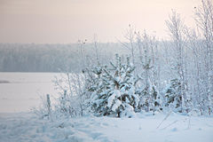 Trees and bushes in snow. Small Christmas trees and bushes in the snow in the winter Stock Photo
