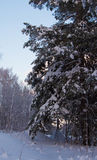 Trees and bushes  in snow. In the winter in forest Royalty Free Stock Photos