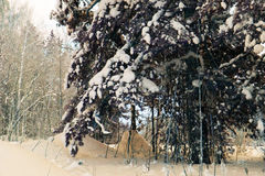 Trees and bushes  in snow. Trees and bushes in snow in the winter in forest Royalty Free Stock Photos