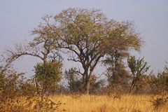 Trees in a Bushveld setting. Trees and bushes form a tangle above bushveld grasslands Stock Image