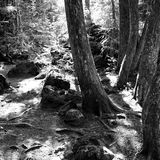 Trees By Forest Pathin Western Oregon Royalty Free Stock Image