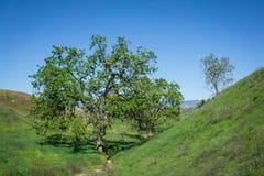 Trees on California Hillside Royalty Free Stock Image