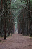 Trees canopy arching over a misty forest road Royalty Free Stock Photo