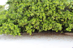 Trees At Cape Tribulation Royalty Free Stock Photography