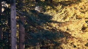 Trees catching the sun on summer evening. Large trees with branches glowing in afternoon sunshine stock footage