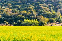 Trees in the center with yellow flowers field royalty free stock images